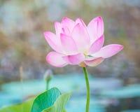 Lirio de agua, Lotus Fotos de archivo