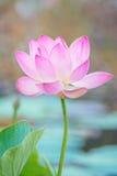 Lirio de agua, Lotus Foto de archivo