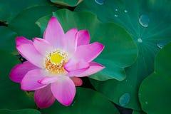 Lirio de agua, Lotus Fotografía de archivo libre de regalías