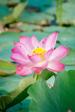 Lirio de agua, Lotus Imagenes de archivo