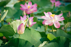 Lirio de agua, Lotus Imágenes de archivo libres de regalías