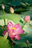 Lirio de agua, Lotus Fotografía de archivo