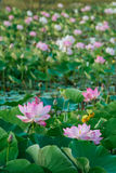 Lirio de agua, Lotus Foto de archivo libre de regalías