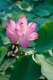 Lirio de agua, Lotus Imagen de archivo