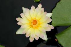 Lirio de agua, Lotus en la visión superior fotos de archivo libres de regalías