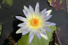 Lirio de agua, Lotus en la visión superior imagenes de archivo