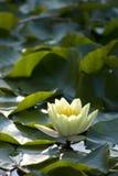 Lirio de agua - marliacea del Nymphaea imagen de archivo
