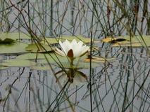 Lirio de agua negro del lago imagen de archivo libre de regalías