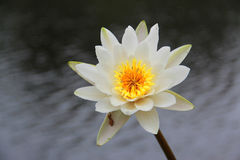 Lirio de agua (Nymphaeaceae) Imagen de archivo libre de regalías