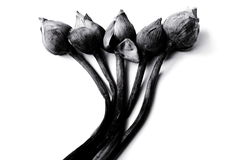 Lirio de agua o flores de loto marchitado en blanco y negro Imágenes de archivo libres de regalías