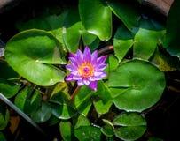 Lirio de agua o Nymphaeaceae Fotografía de archivo libre de regalías