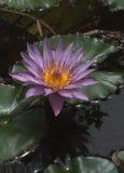 Lirio de agua púrpura Fotos de archivo libres de regalías