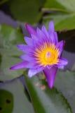 Lirio de agua púrpura Imagen de archivo libre de regalías