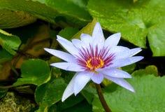 Lirio de agua púrpura Imagenes de archivo