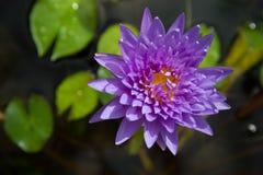Lirio de agua púrpura azul en el jardín Fotografía de archivo libre de regalías