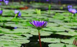 Lirio de agua púrpura colorido. Imágenes de archivo libres de regalías