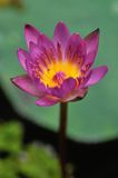 Lirio de agua púrpura colorido Imagenes de archivo