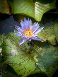 Lirio de agua púrpura colorido con la abeja Fotografía de archivo