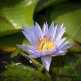 Lirio de agua púrpura colorido con la abeja Fotos de archivo libres de regalías
