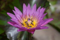 Lirio de agua púrpura con la abeja Imagenes de archivo