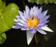 Lirio de agua púrpura con la abeja dentro Foto de archivo libre de regalías