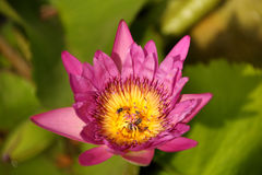 Lirio de agua púrpura con la abeja en el polen, foco selectivo Fotos de archivo libres de regalías