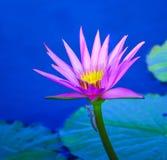 Lirio de agua púrpura con un insecto en el tronco Imagen de archivo libre de regalías