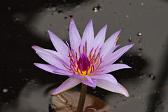 Lirio de agua púrpura de la pasión Fotografía de archivo libre de regalías