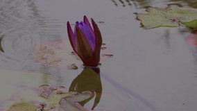 Lirio de agua púrpura en lluvia almacen de metraje de vídeo