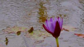 Lirio de agua púrpura en lluvia almacen de video