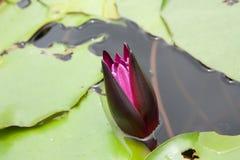 Lirio de agua púrpura joven Foto de archivo