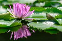 Lirio de agua púrpura (loto) Fotos de archivo libres de regalías