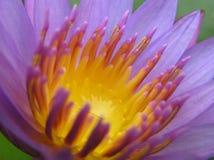 Lirio de agua púrpura Foto de archivo