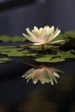 Lirio de agua reflejado fotografía de archivo