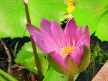 Lirio de agua rosada y amarilla Fotografía de archivo libre de regalías