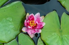 Lirio de agua rosada y blanca en el lago, flor de loto con los cojines verdes Imagenes de archivo