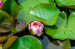 Lirio de agua rosada y blanca en el lago, flor de loto con los cojines verdes Imágenes de archivo libres de regalías