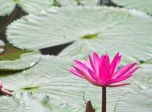 Lirio de agua rosado Imágenes de archivo libres de regalías