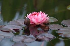Lirio de agua rosado Fotografía de archivo