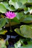 Lirio de agua rosado Fotos de archivo libres de regalías