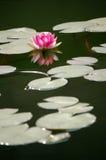 Lirio de agua rosado Foto de archivo