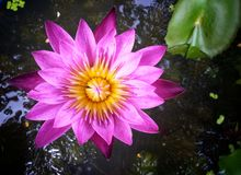 Lirio de agua rosado Imagen de archivo libre de regalías