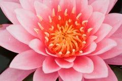 Lirio de agua rosado imagenes de archivo