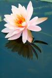 Lirio de agua rosado Foto de archivo libre de regalías