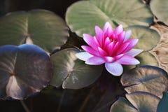 Lirio de agua rosado brillante imágenes de archivo libres de regalías
