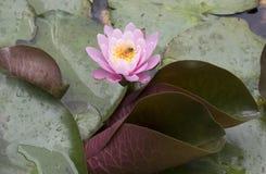Lirio de agua rosado con la abeja Imagenes de archivo