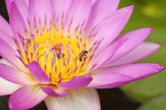 Lirio de agua rosado con la abeja Imagen de archivo libre de regalías