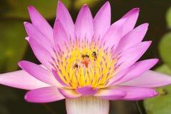 Lirio de agua rosado con la abeja Foto de archivo