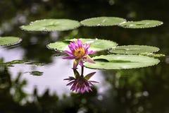 Lirio de agua rosado con la reflexión en la charca imagen de archivo libre de regalías