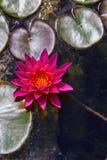 Lirio de agua rosado desde arriba Imágenes de archivo libres de regalías